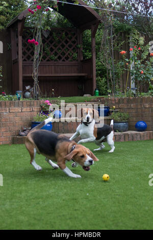 Beagles running about playing fetch - Stock Photo
