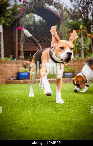 Beagle running around in the garden - Stock Photo