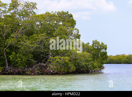 Fort Myers Beach, USA - MAY 11, 2015: Mangroves in Estero Bay. - Stock Photo