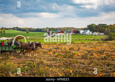 The pumpkin patch field at Hersherger's Farm and Bakery near Millersburg, Ohio, USA. - Stock Photo
