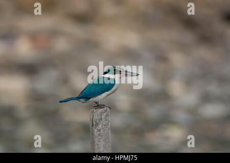 Side view of a collared kingfisher - Todiramphus chloris - perched on a wooden post in coastal Penang, Malaysia. - Stock Photo