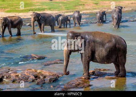 Elephants pack bathing in the river. National park. Pinnawala Elephant Orphanage. Sri Lanka. - Stock Photo