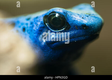 Blue poison dart frog (Dendrobates tinctorius azureus). Head of amphibian aka blue poison arrow frog, native to - Stock Photo