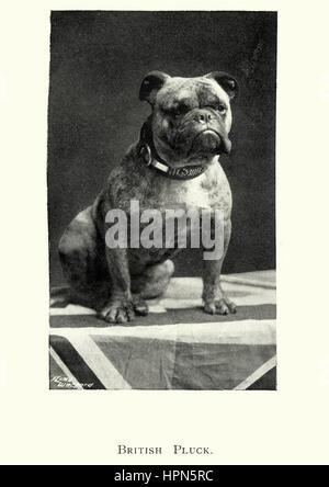 Edwardian picture of a British Bulldog, 1913 - Stock Photo