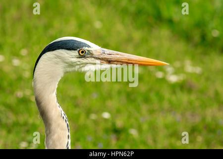 closeup of grey heron landscape - Stock Photo