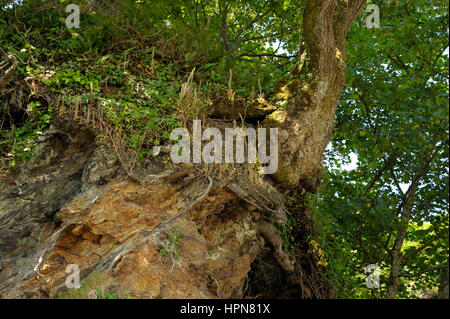 Navelwort, Umbilicus rupestris High up on a Rock under Trees - Stock Photo