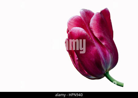 pink tulip isolated on white background - Stock Photo