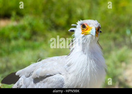 SAN DIEGO, USA - MAY 29, 2015: Close-up of a secretary bird looking into the camera in the San Diego Zoo. - Stock Photo
