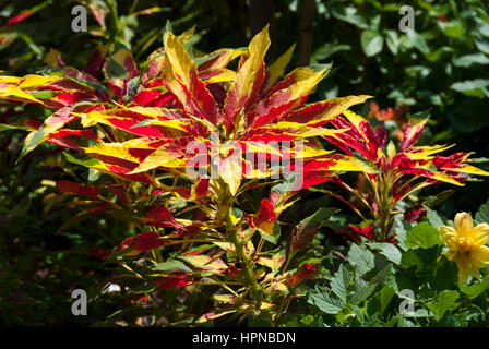 Amaranthus tricolor is a tender ornamental plant also known as edible amaranth and also Joseph's coat because of - Stock Photo
