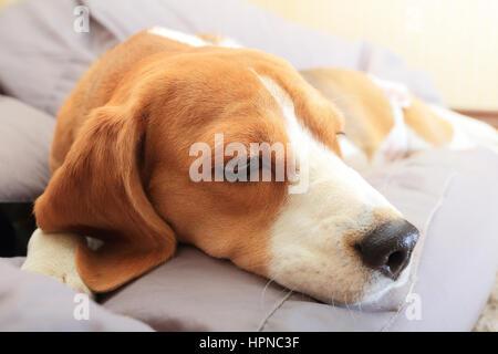 Sad beagle dog on soft chair indoors - Stock Photo