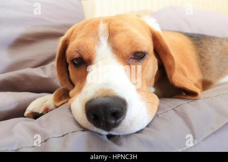Sick beagle dog on soft chair at home - Stock Photo