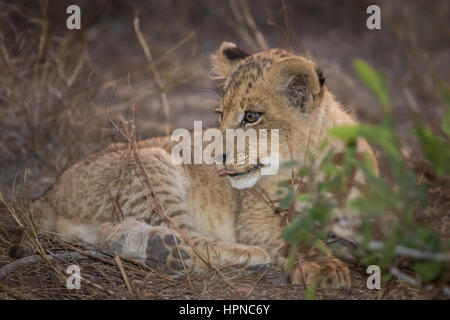 Small lion cub ( Panthera leo) laying in the grass and looking over its shoulder. - Stock Photo