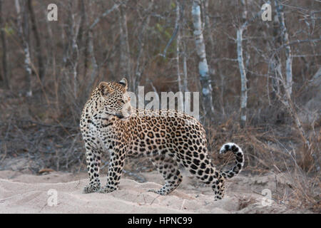 Young male leopard ( Panthera Pardus) looking over his shoulder. - Stock Photo
