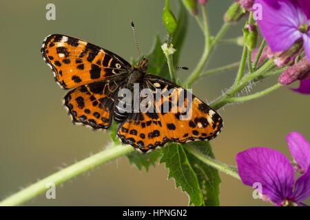 Landkärtchen, Landkärtchenfalter, Landkärtchen-Falter, Frühlingsgeneration, Araschnia levana, map butterfly, Le - Stock Photo