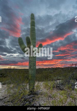 Saguaro cacti stand against setting sun near Tucson Arizona - Stock Photo