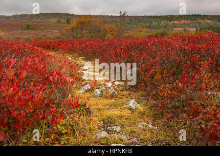 Red autumn leaves by rocky and stony path across Dolly Sods Wilderness area in West Virginia - Stock Photo