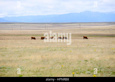 A small herd of cows with a calf grazing on a plain near Las Vegas in New Mexico, USA. - Stock Photo