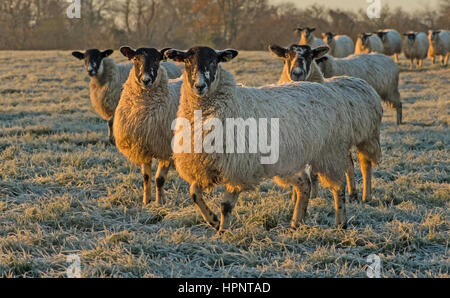 Mule sheep at sunrise on a frosty morning in the UK - Stock Photo