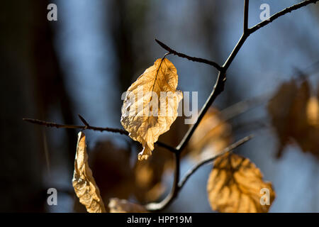 Old beech leaves in Firestone woods - Stock Photo