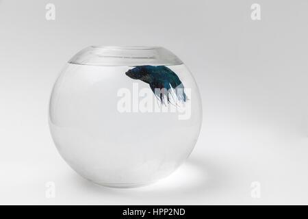 fighter fish in the aquarium, white background - Stock Photo