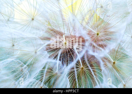 Dandelion macro. The middle of a dandelion. Focus in the center. Blurred and soft color. - Stock Photo