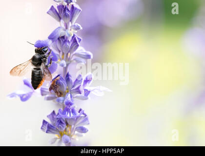 Native Australian leaf cutter bee - pollinator - Stock Photo