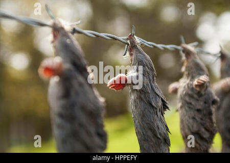 Dead European Moles (Talpa europaea) hung on barbed wire by a mole catcher, Northumberland, England, UK - Stock Photo