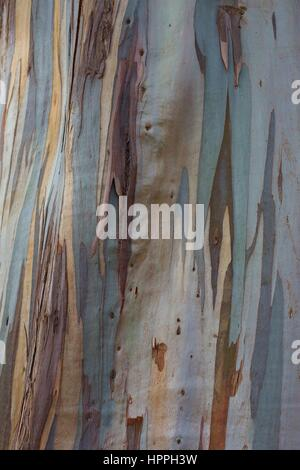 Close up of the colorful bark of a eucalyptus tree. - Stock Photo
