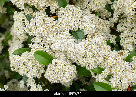 pyracantha inflorescences - Stock Photo