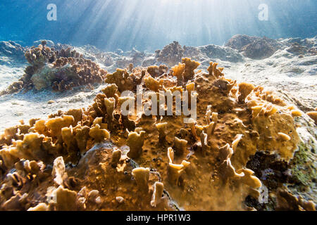 Millepora complanata, commonly known as blade fire cora - Stock Photo