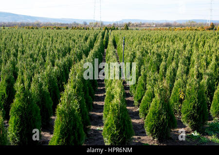 Nursery for Goldstrike Cedar. Natural green conifer thuja planting garden outdoor. Holmstrup. - Stock Photo