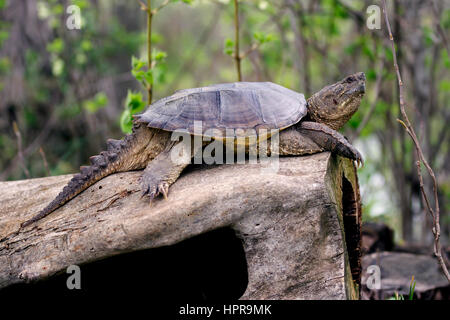 Captured this common snapping turtle basking in the sun sitting on a log. The back of my property touches the North - Stock Photo