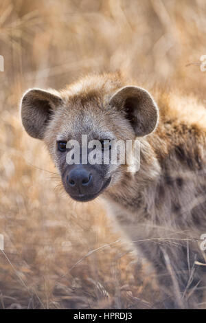 Spotted hyena are among the prominent wildlife of Kruger National Park, South Africa. - Stock Photo