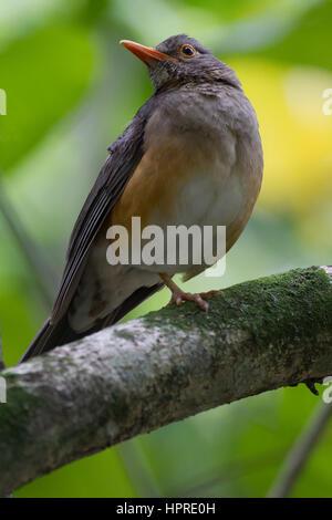 Rich birdlife in the coastal forest of Umlalazi, KwaZulu-Natal, South Africa - Stock Photo