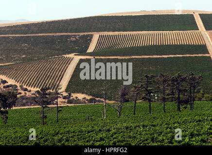 The vinyards at Durbanville hills winery estate near Cape Town, South Africa.