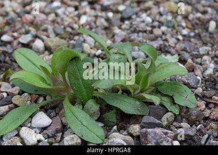 Vergissmeinnicht, Blatt, Blätter vor der Blüte, Myosotis spec., forget-me-not, scorpion grass - Stock Photo