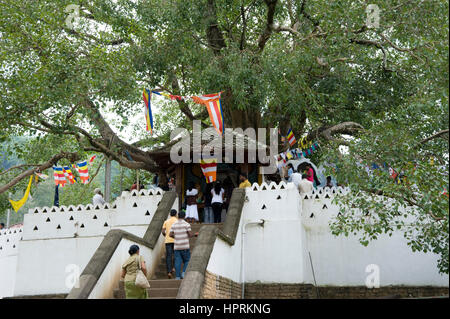 Holy bodhi tree infront of the Temple of the Tooth in Kandy, Kandy, Sri Lanka, Asia - Stock Photo