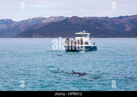 Kaikoura, Canterbury, New Zealand. Tourists watching a pod of dusky dolphins (Lagenorhynchus obscurus) in South - Stock Photo