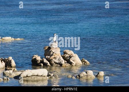Kaikoura, Canterbury, New Zealand. Pied shag (Phalacrocorax varius) perched on rocks above the Pacific Ocean at - Stock Photo