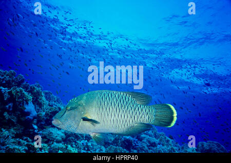 A juvenile humphead wrasse (Cheilinus undulatus). Considered to be high status eating and lips aphrodisiac. Endangered - Stock Photo