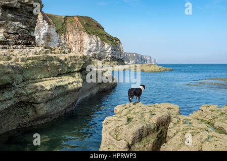 A Border Collie dog enjoying the beautiful scenery at Thornwick bay on the coast of North Yorkshire, England. - Stock Photo