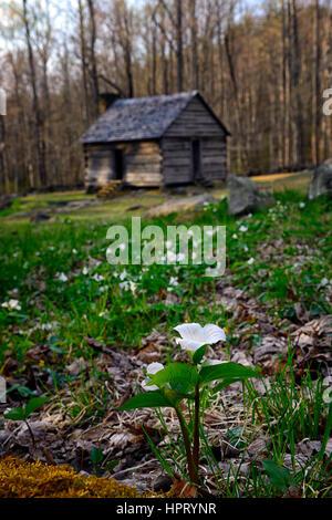 Trillium grandiflorum, White wake robin, flowers, flowering, spring, Alex Cole farm, log cabins, cottage, homestead, - Stock Photo