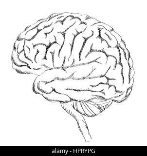 Human brain anatomy, lateral view Stock Photo, Royalty Free Image ...