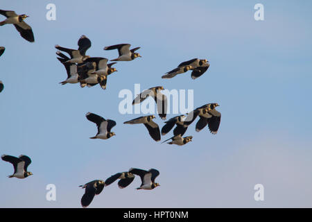 Northern lapwing (Vanellus vanellus), also known as the peewit, pewit, tuit or tew-it (imitative of its cry) and - Stock Photo