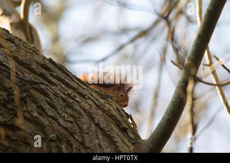 Red Squirrel or Eurasian Red Squirrel (Sciurus vulgaris)