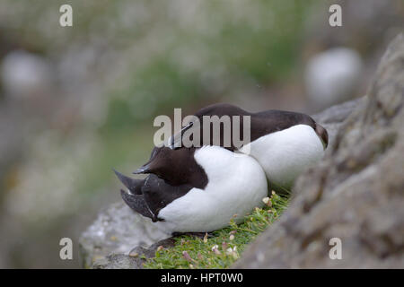 Razorbills (Alca torda) breeding on Lunga, Treshnish Isles, Scotland, UK - Stock Photo