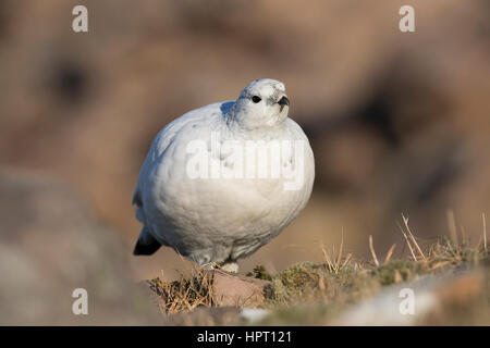 Rock Ptarmigan (Lagopus mutus), Scottish West Coast, Highlands, Scotland, UK - Stock Photo