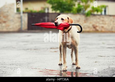 Obedient dog in rainy day. Adorable labrador retriever is holding red umbrella in mouth and waiting for his owner - Stock Photo