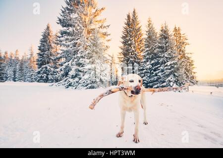 Dog in winter nature. Yellow labrador retriever is walking with stick in mouth during golden sunset. - Stock Photo