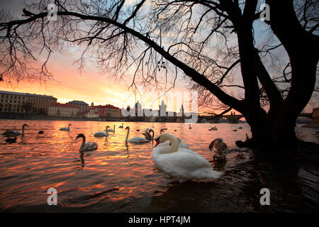 Group of swans on Vltava River in Prague - selective focus - Stock Photo